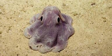 Oktopus sieht aus wie Dumbo