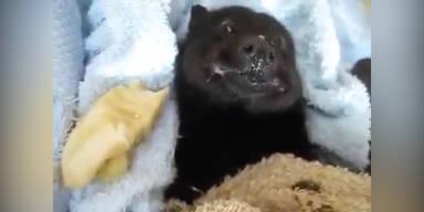 Baby-Fledermaus isst eine Banane