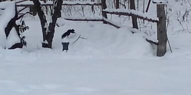Eichhörnchen torkelt betrunken durch die Gegend