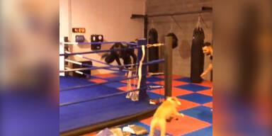 Hund jagt Balotelli durch Boxring