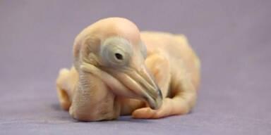 Seltenes Pelikanküken geboren