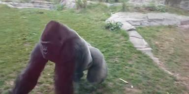 Gorilla attackiert Zoo-Besucher