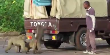 LKW: Überraschender Affenbesuch