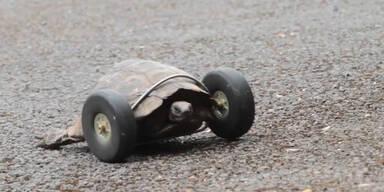 Alte Schildkröte kurvt auf Rädern