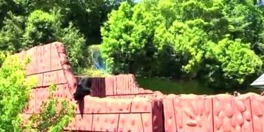 Bär versucht zu fliehen