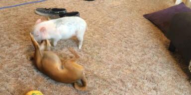 Mini-Schwein gegen kleinen Hund