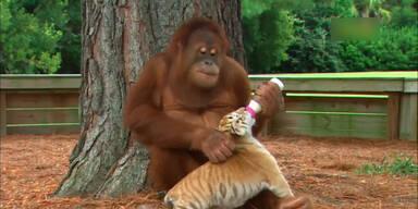 Orang-Utan füttert Baby-Tiger