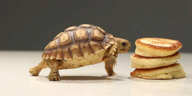 Mini-Schildkröte frisst Mini-Pancakes