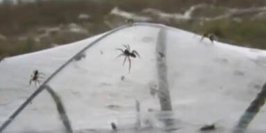 Spinnen-Invasion wie im Horror-Film