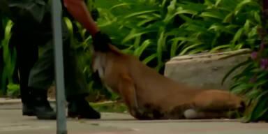 Puma hält Kalifornien in Atem