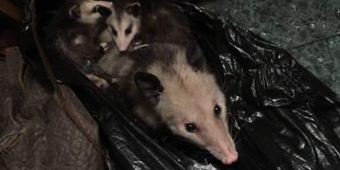 Opossum-Familie lebt in Schrank