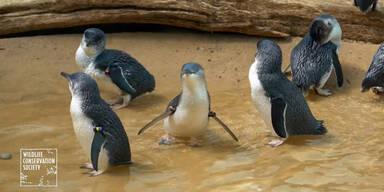 Süße Pinguine spielen im Zoo
