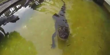 Alligator verwechselt Kamera mit Futter