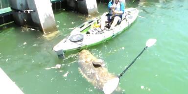 Riesenbarsch vom Kajak aus gefangen