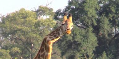 Giraffe hat Knick im Hals