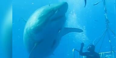Taucher filmt riesigen Weißen Hai