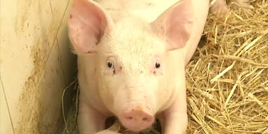 Polnische Schweine lieben Mozart
