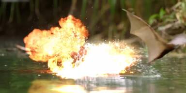 Fledermäuse kämpfen gegen Krokodile