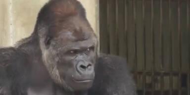 Fescher Gorilla verdreht Frauen den Kopf