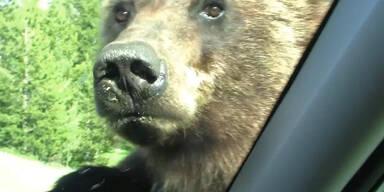 Aggressiver Grizzly attackiert Auto