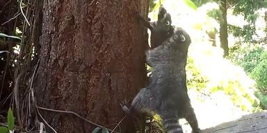 Waschbär-Mama lernt Baby klettern