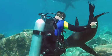 Seelöwe attackiert spielerisch Taucher