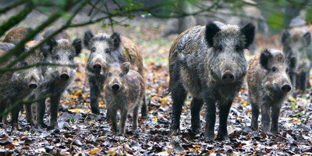 40 Wildschweine von Schlossherrn flüchtig