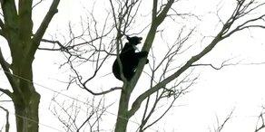 Baby-Bär klettert in Kleinstadt herum