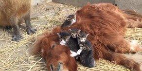 Ungewöhnliches Kuschelkissen für Kätzchen