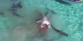 Haie reißen Wal in Stücke