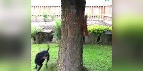 Eichhörnchen spielt mit Hund