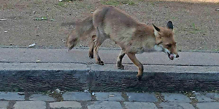 Fuchs-Alarm: Tierischer