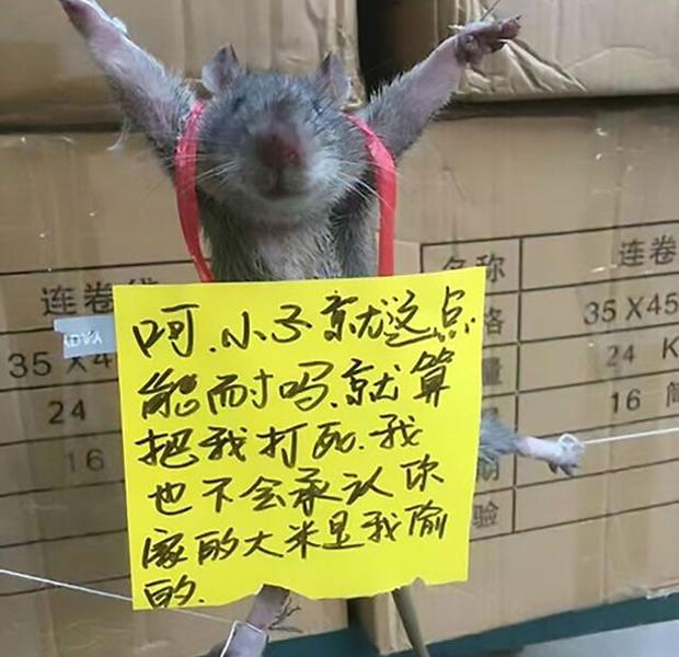 Ratte foltern China