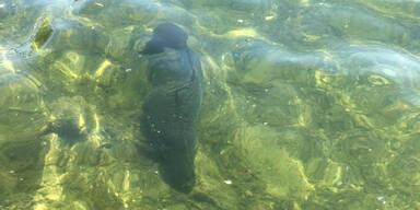 Karpfen in der Donau