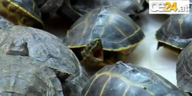 451 Schildkrötennbabys in Koffer geschmuggelt