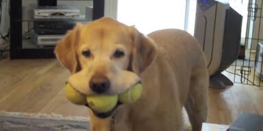 Witzig! Hund nimmt den Mund zu voll!