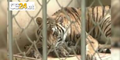 Tiger-Drillinge in China zur Welt gekommen