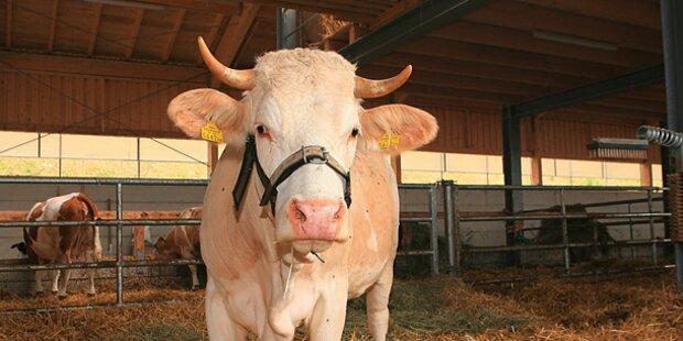 Stier: Flucht vor Fleischer