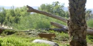 Löwenbabys zum ersten Mal im Gehege