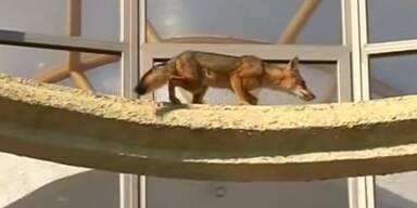 Fuchs flüchtet vor Feuerwehr