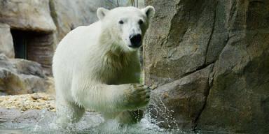 Eisbärenwelt im Tiergarten Schönbrunn