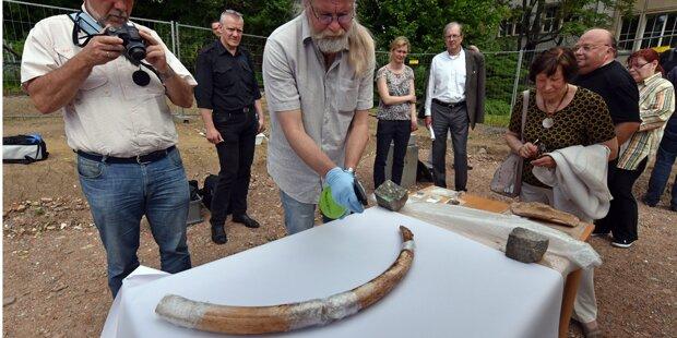 Mammut-Stoßzahn präsentiert