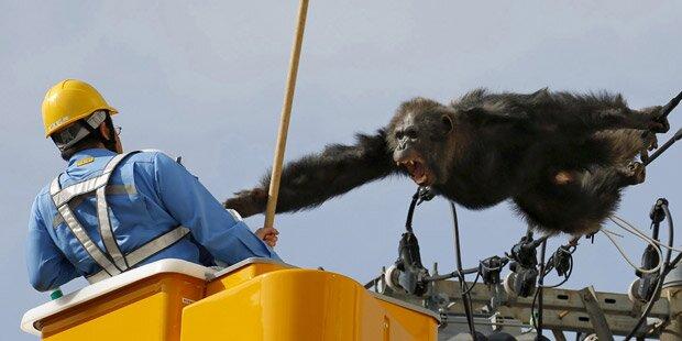 Wut-Affe attackiert seine Retter