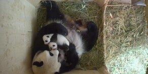 Panda-Babys entwickeln sich prächtig