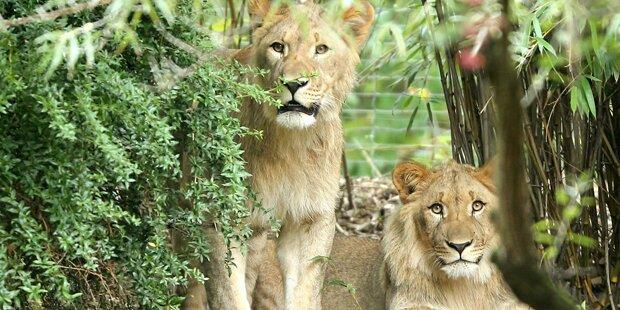 Ein Löwe in Zoo erschossen