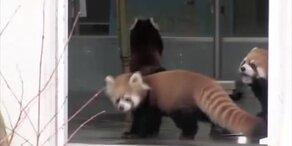 Roter Panda erschreckt sich
