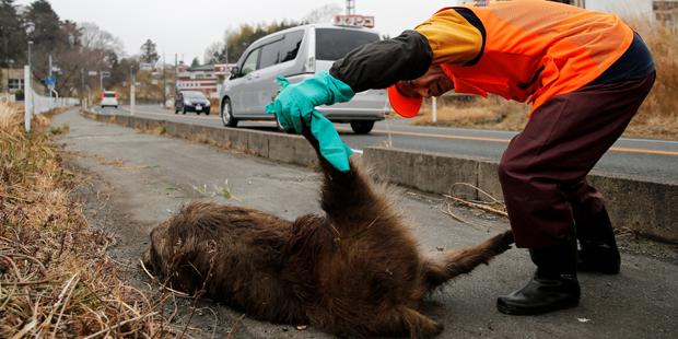 Fukushima Wildschwein