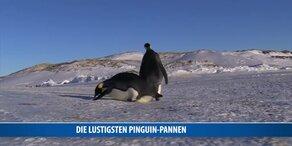 Die lustigsten Pinguin-Pannen
