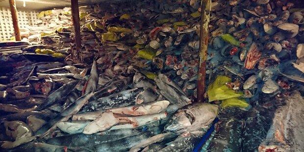 Mehr als 6.000 verstümelte Haie auf Schiff entdeckt