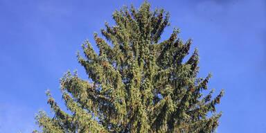 Heute kommt der Christbaum